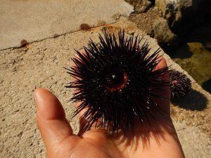 sea-urchin-1504417_640